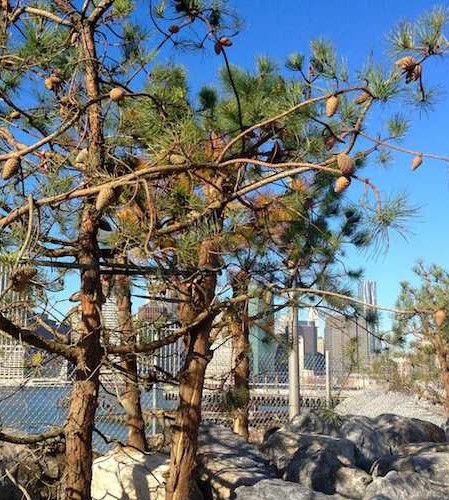 BB Park Pine Tree Front