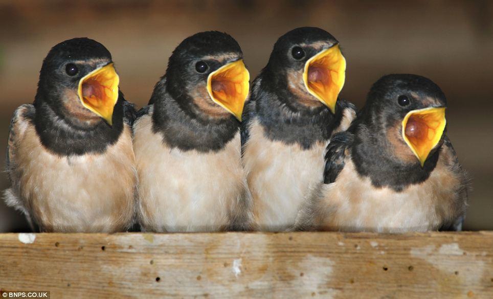 Baby Birds Renee Dale